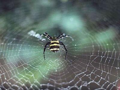 同等质量的蛛丝强度是钢丝的5倍,为什么蛛丝如此强硬?