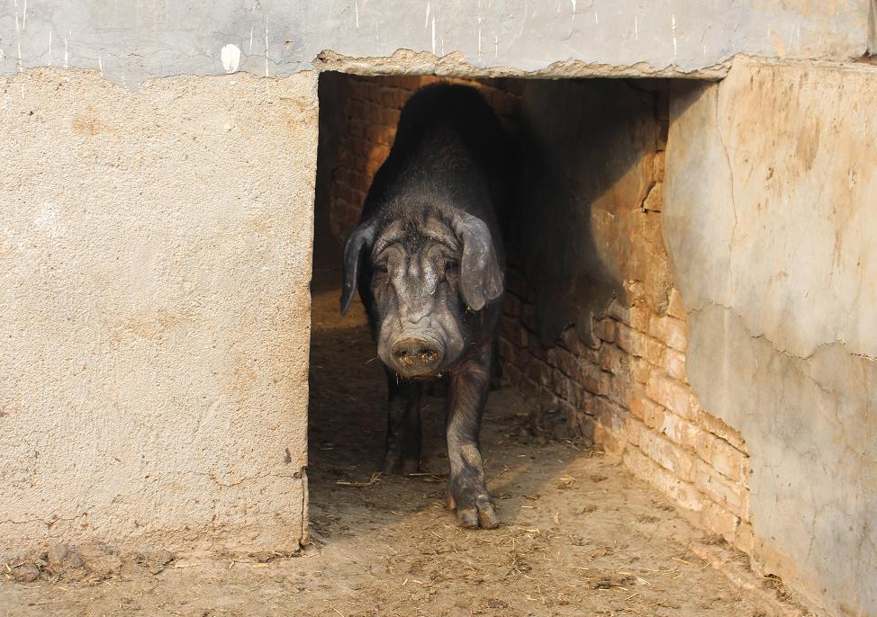 他养猪养了20年,一直致力于养殖出有机黑猪