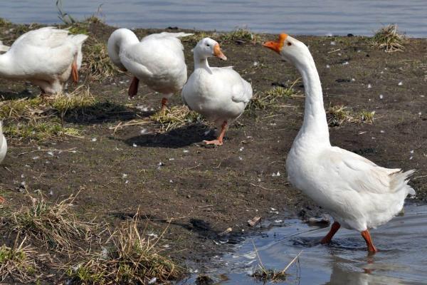 青年鹅养殖管理 这5项不可忽视!