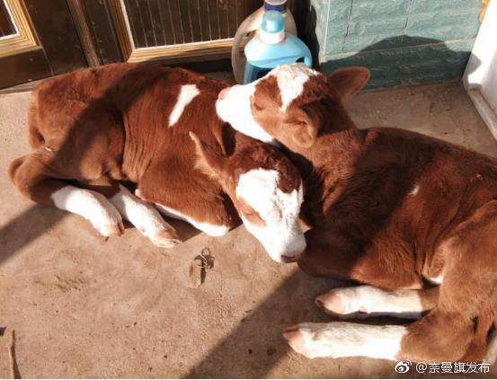 """奈曼旗畜牧站推广""""母牛一年产一胎饲养管理模式"""""""