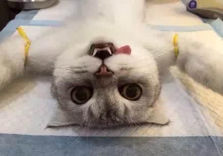 带猫咪去宠物医院,当猫咪看见给它做绝育的医生时,瞬间吓蔫了