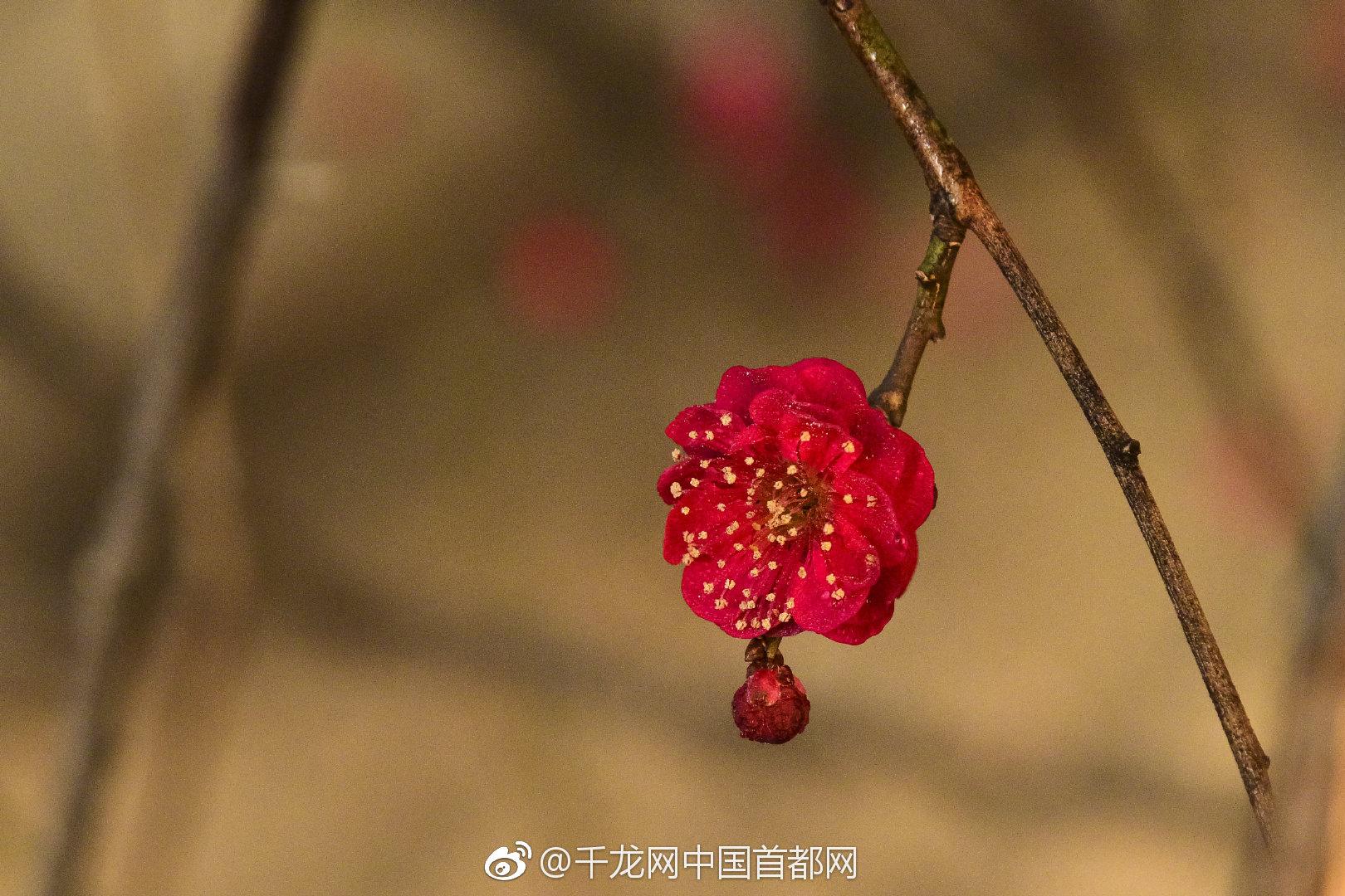 鹫峰森林公园温室梅花魅力绽放迎新春