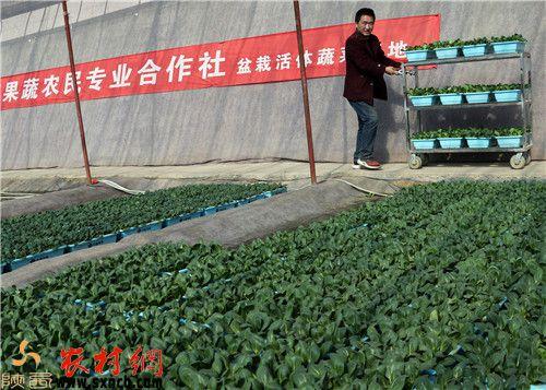 """【网络媒体走转改】大荔冯村温室大棚栽植""""活体蔬菜""""卖得俏"""
