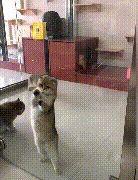 猫咪跳舞擦玻璃,身后两只猫咪秀恩爱,主人:谈恋爱不如跳舞