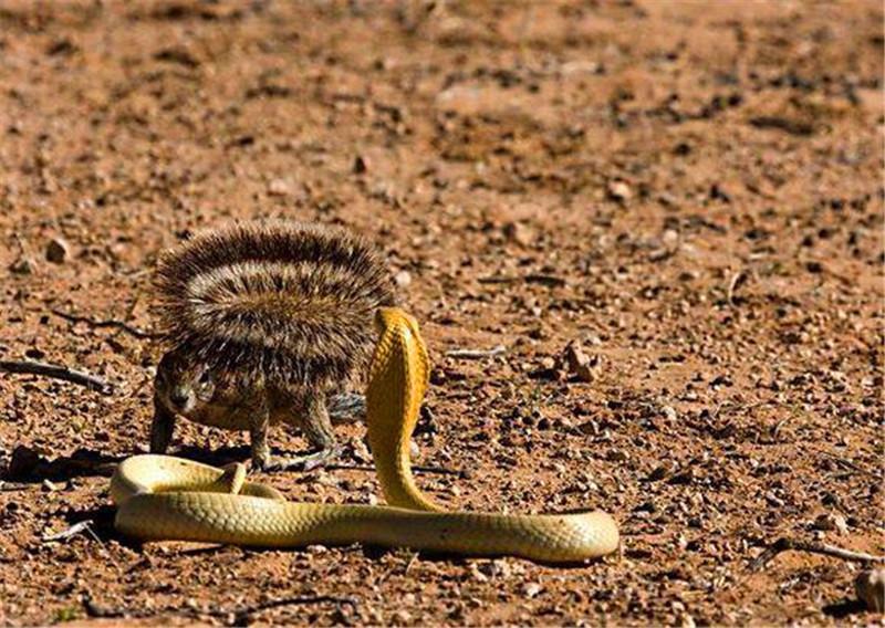 小松鼠碰见剧毒眼镜蛇,不但没逃跑,反而直接摆出了战斗姿势