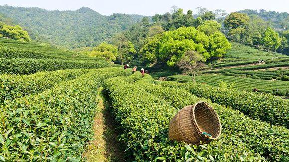 网上买茶如何不被坑?手把手教您网上选购茶叶的诀窍