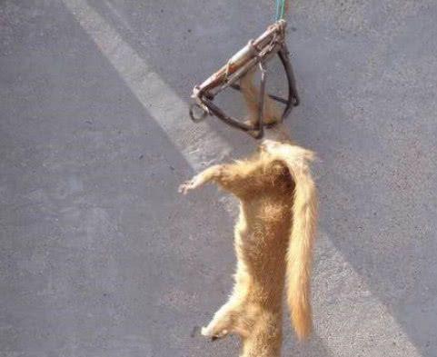 家禽频繁遭窃,大爷做陷阱抓捕,干坏事的居然是它!