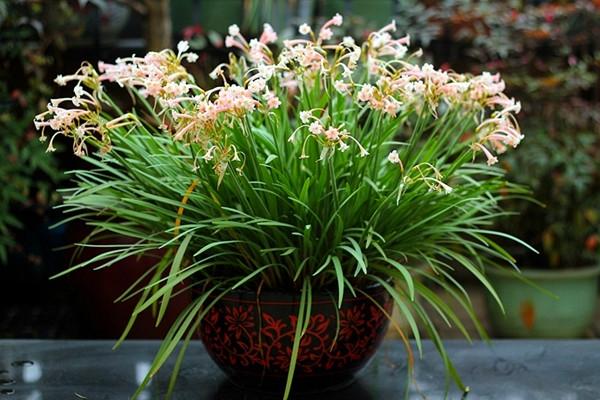 精致小巧,园林美化花卉——垂筒花栽培技术