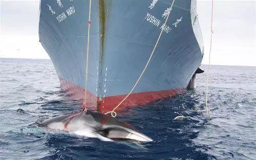 """日本明年将重启商业捕鲸:""""海盗捕鲸国"""",什么时候可以停止你们的丧心病狂!"""