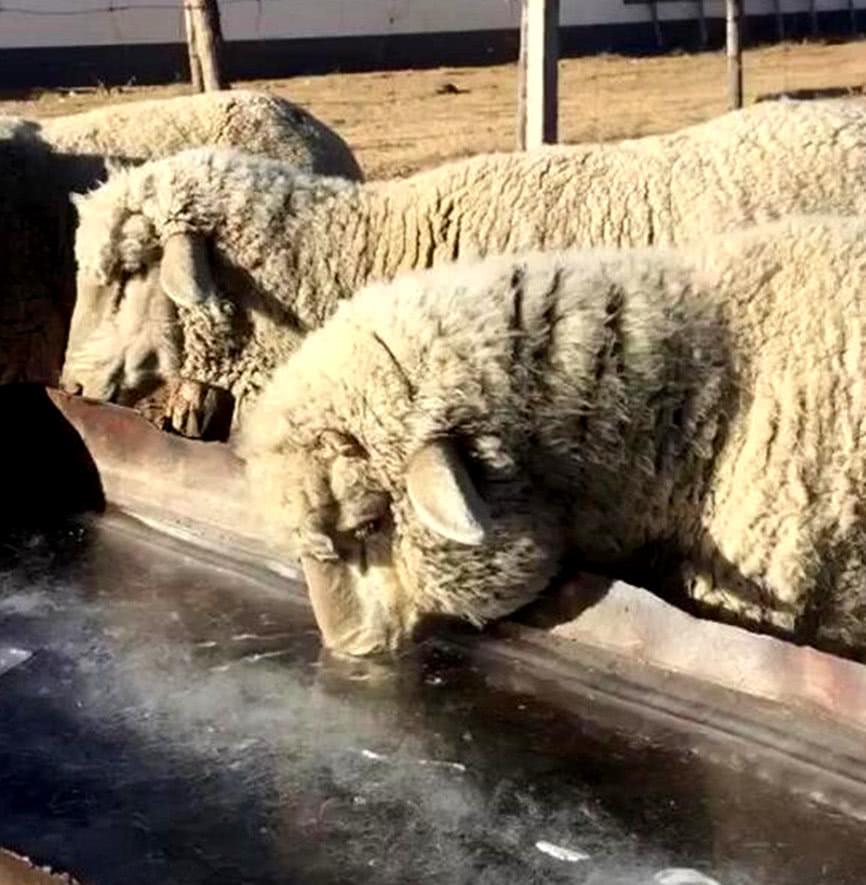 水槽里结冰化不开,一羊用绝招成功喝到水,其他羊看了纷纷效仿