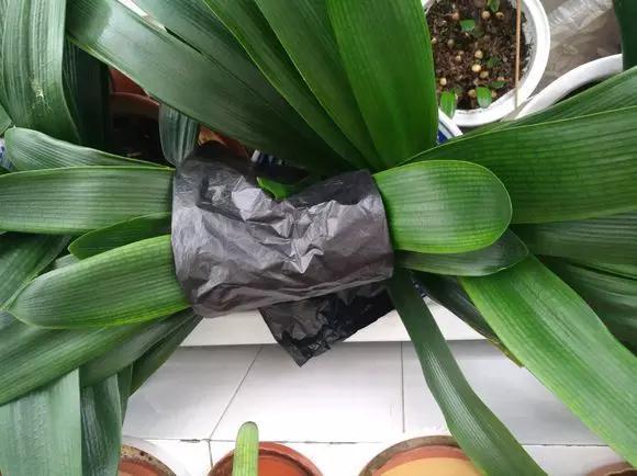 君子兰的花开不出来?别绑叶子了,没用!拿一个塑料袋就解决
