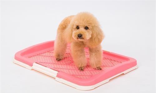 宠物知识:狗狗尿味多久能自然消散,狗狗尿地板的味多久消散
