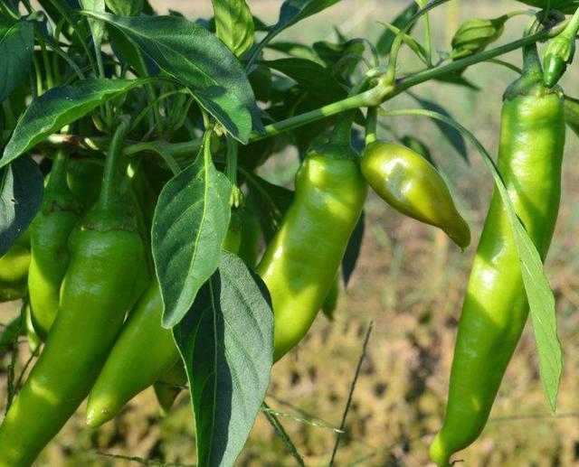 在温室种植辣椒利润大,一定要注意温室控制,种植技术要科学