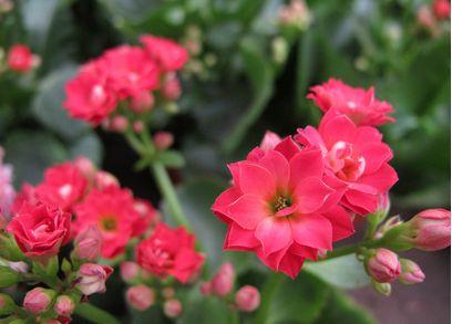 长寿花的养殖方法和注意事项!都来学学啦