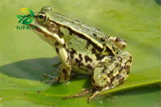 养殖青蛙需要什么条件