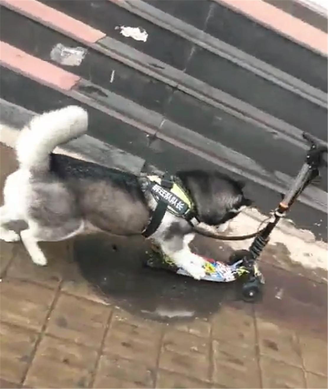 哈士奇在街上玩滑板车,路人纷纷侧目,狗:后腿跟不上前腿了…