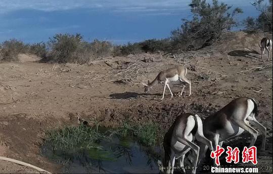 敦煌西湖保护区建自动化饮水点:野骆驼、猞狸成常客