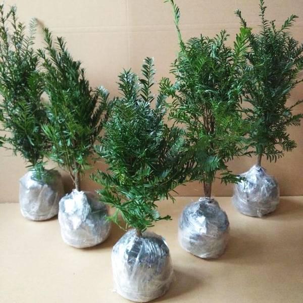 坚决不养仙人掌,冬天巨好养活的花卉,耐修剪,真正的懒人盆栽