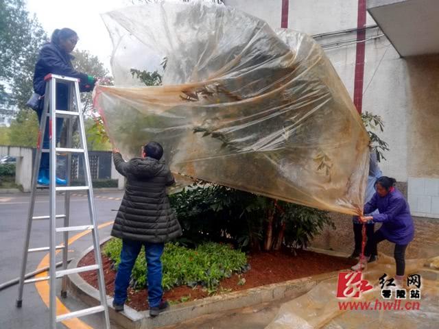 """零陵:园林工人为热带树木""""穿衣戴帽""""防冰冻"""