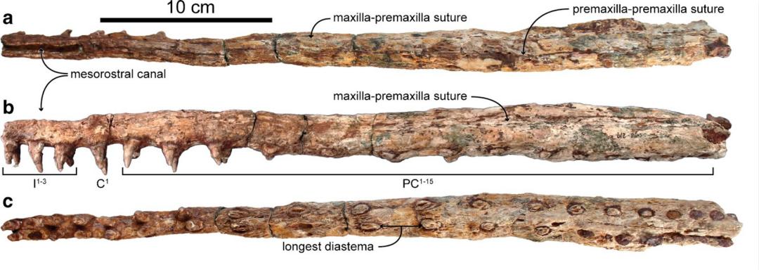 探索鲸鱼过滤喂养的进化之路,3400万年前须鲸祖先长有锋利的牙齿
