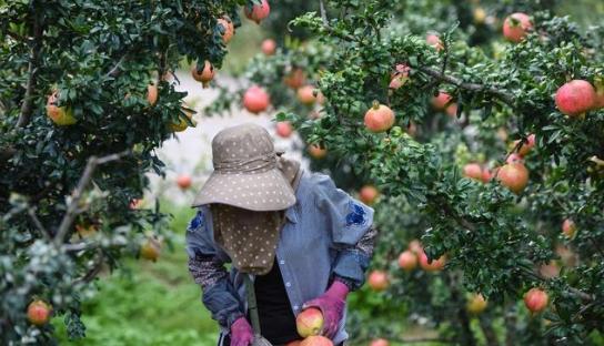 果树保花保果全靠它了,同时提高品质、增产增收、产品畅销20年