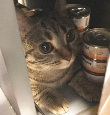 吃货猫主子偷罐头被主人发现,一脸凶相太嘚瑟,社会猫:你瞅啥?