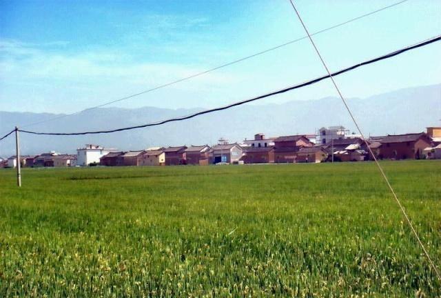 石灰对水稻有益还是有害?