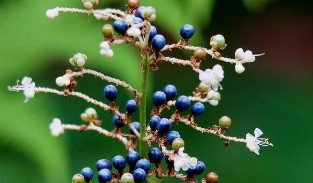 农村一种似竹叶的野草,果似珍珠,价值很珍贵,常用来包粽子