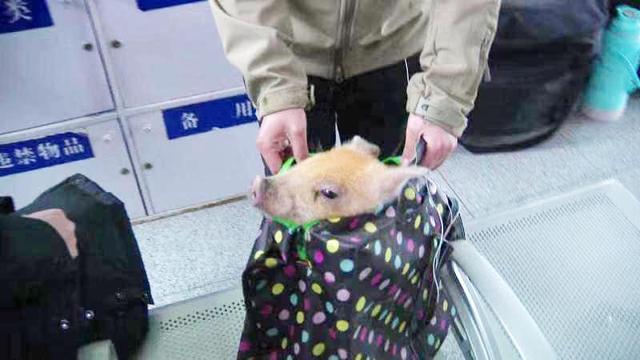 宠物猪进火车站被安检拦住,主人:这是我孩子,凭啥不让带?