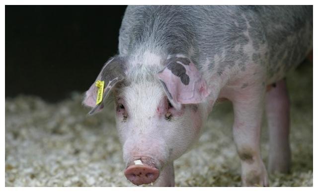 青储的用途很广,可以喂很多家畜家禽,不知道就可惜了