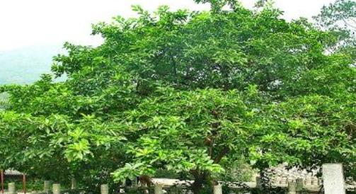 """曾用来做""""龙袍""""染料的树,果实拿来酿酒喝,城里人一般不认识"""