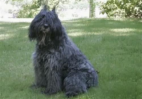 如何治疗法兰德斯畜牧犬的抑郁症,你知道多少呢