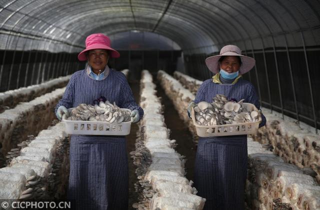云南永胜:食用菌种植助力精准扶贫