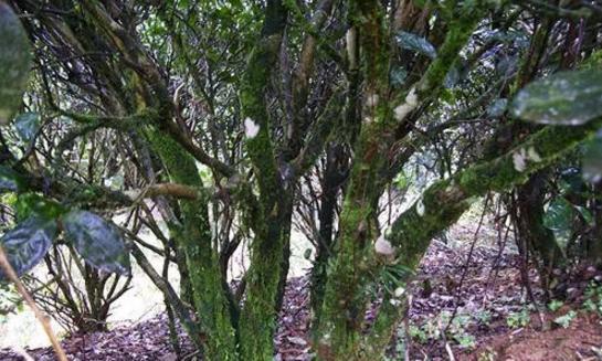 武夷山大红袍,六棵母树的财富传奇!