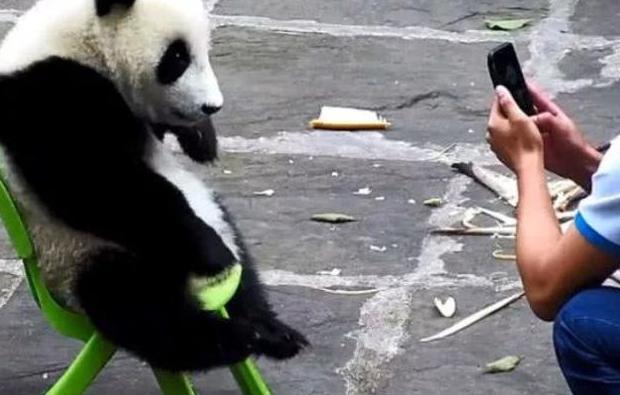 刚洗完澡熊猫就开始闹腾,饲养员灵机一动掏出手机,熊?.