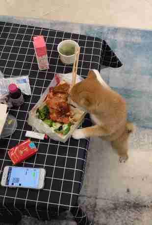 宠主出去拿个快递,小狗霸占主子午餐,主人回来后想哭