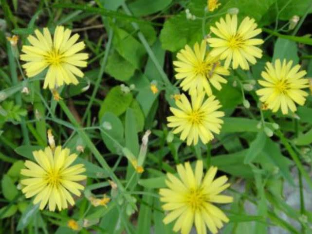 这种开黄花的野草是牲畜的好饲料,农村很常见,结花苞时就被割了