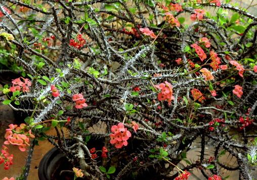 盆栽花卉龙骨柱与家居风格的摆放