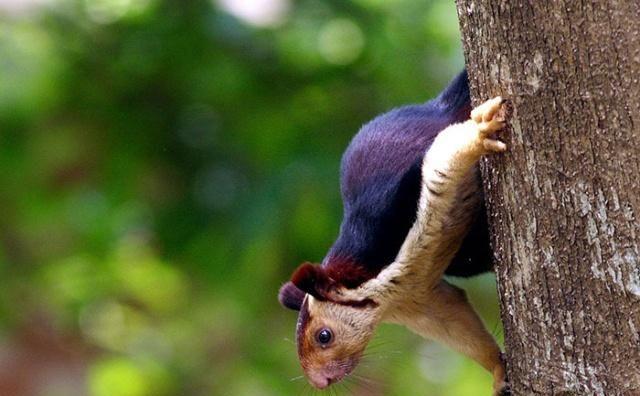 接近1米长的巨型松鼠,身披五彩毛皮,如今生存环境堪忧