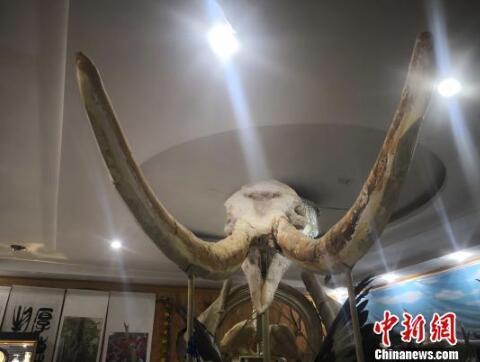 """兰州六旬男子钟情""""龙骨"""" 收藏3000万年前""""黄河象"""""""