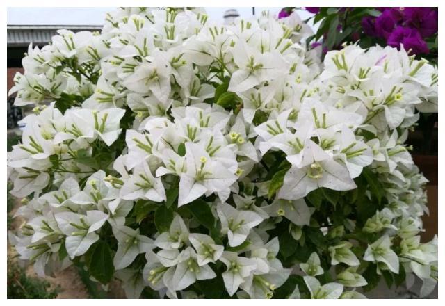 刚发芽的三角梅怎样施肥,是用复合肥还是直接喷磷酸二氢钾促花