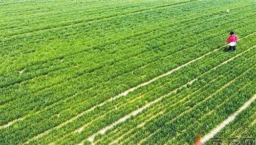 小麦如期返青 家禽养殖效益较好