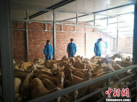 兰州海关保障千余只澳洲奶山羊入境 谋西北畜牧业增效