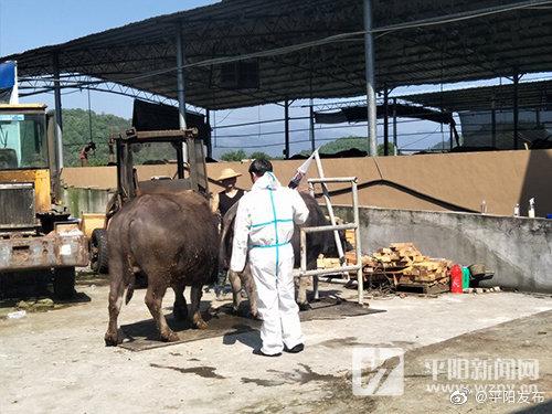 全国畜牧总站专家来平采集 保护优秀温州水牛遗传资源