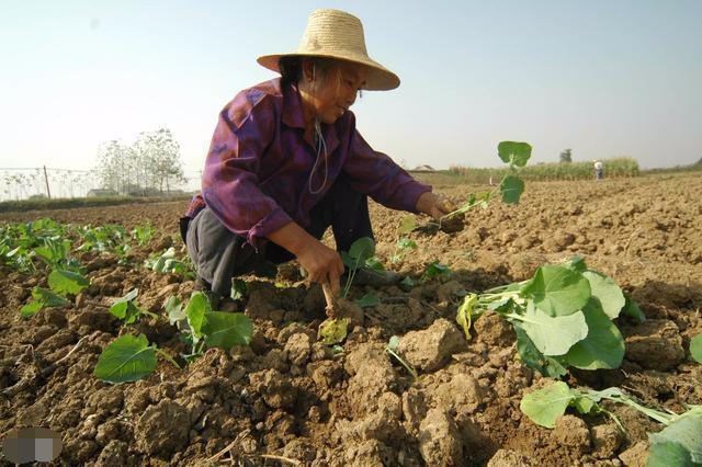 农家肥比有机化肥的成本要低, 而且也更有营养, 为啥现在用的人少