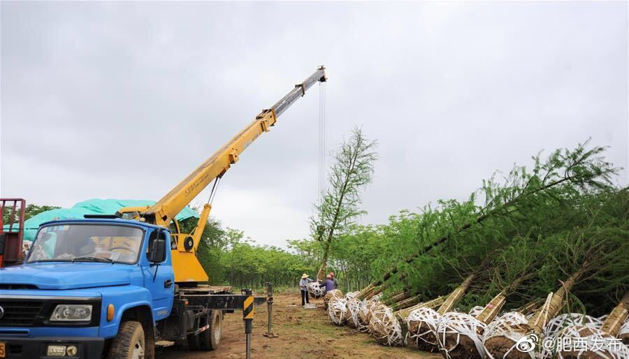 安徽肥西:苗木产业助乡村振兴