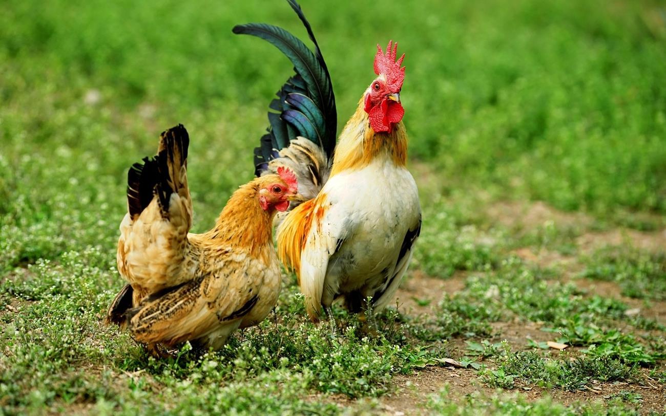 全世界最普遍的家禽,几百亿只足迹遍布全球,有一国家却不准养殖