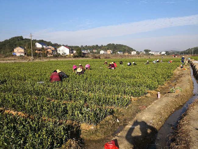 原创  中国油茶之乡(湖南攸县)新兰苗木杨新军与当地百姓的油茶致富经