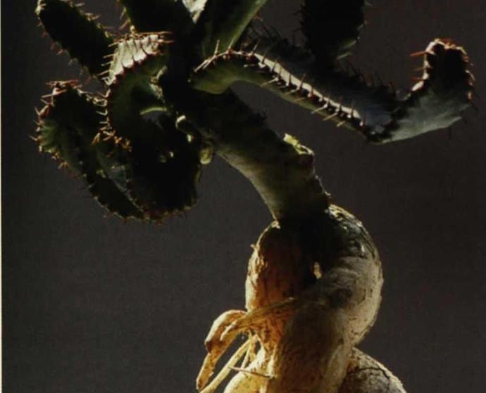 盆栽多肉盛宴飞龙繁殖与养护技术