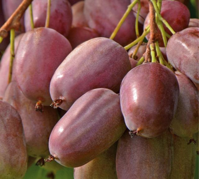 别种梨树桃树了!此果树比蜜饯还好吃,门前种2棵来年结果9箩筐
